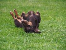 Gl?cklicher Hunddachshund, der im Gras liegt lizenzfreie stockbilder