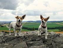 Glücklicher Jack Russell Terrier Dogs lizenzfreies stockbild