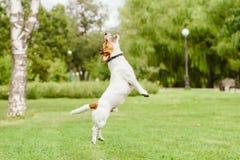 Glücklicher Jack Russell Terrier-Hund, der am Parkrasen springt und spielt stockfotografie