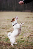 Jack Russell Terrier Stockfotos