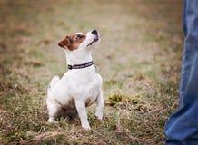Jack Russell Terrier Stockfoto