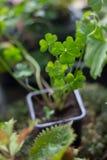 Glücklicher Klee, der nach Hause als Anlage, Grün, mit vier Blättern pflanzt Stockfoto