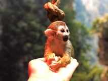 Glücklicher kleiner Affe im Streichelzoo sitzt auf der menschlichen Palme stockbilder