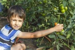 Glücklicher kleiner Junge, der frisches Tomatengemüse im Gewächshaus auswählt Familie, arbeitend, Lebensstilkonzept im Garten Lizenzfreie Stockfotografie