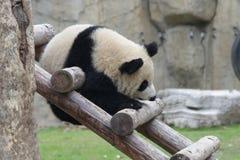 Glücklicher kleiner Panda Cub klettert auf dem hölzernen Strahl, China lizenzfreies stockbild