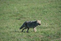 Glücklicher Kojote Lizenzfreie Stockbilder