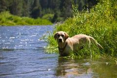 Glücklicher Labrador-Apportierhund Lizenzfreie Stockfotos