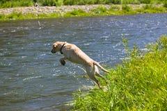 Glücklicher Labrador-Apportierhund Stockfoto