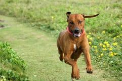 Glücklicher laufender Hund Lizenzfreies Stockfoto