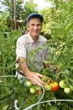 Glücklicher männlicher Gärtner, der Tomaten erntet stockfoto