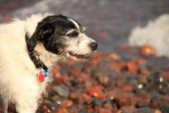 Glücklicher, nasser älterer Hund lächelt auf dem Ufer des Oberen Sees Stockbild