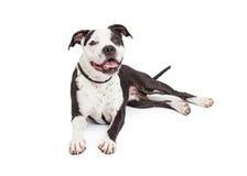 Glücklicher Pit Bull Dog Laying Lizenzfreies Stockfoto