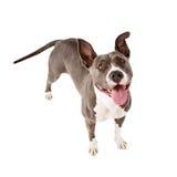 Glücklicher Pit Bull Dog Standing Looking oben Stockfotos