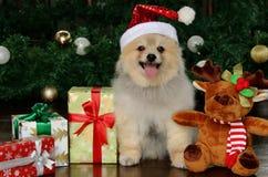 Glücklicher Pomeranian-Hund unter Weihnachtsguten sachen Stockfotografie