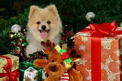 Glücklicher Pomeranian-Hund unter Weihnachtsguten sachen Stockfoto
