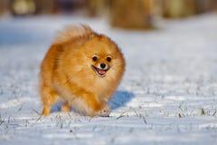 Glücklicher pomeranian Spitzhund, der auf Schnee läuft Stockbild