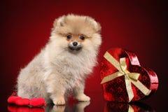 Gl?cklicher Pomeranian-Spitzwelpe stockfotos