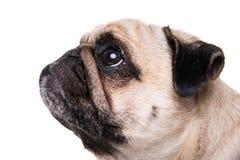 Glücklicher Pug Stockfotos