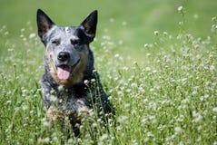Glücklicher reinrassiger Hund, der auf einer schönen Wiese sitzt Lizenzfreie Stockbilder