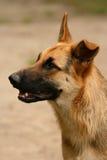 Glücklicher Schäferhund Stockfotos