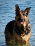 Glücklicher Schäferhundhund, der im Meer spielt Stockfotografie