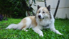 Glücklicher schöner Hund mit den blauen Augen, die auf dem Gras im Freien sitzen stock footage