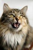 Glücklicher Schrei der Katze? Lizenzfreies Stockbild
