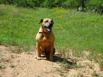 Glücklicher schwarzer Mund-Kanaille-Hund, der auf einem Gebiet sitzt lizenzfreies stockbild