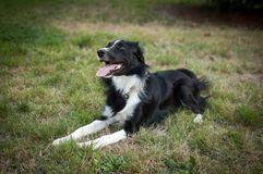 Glücklicher Schwarzweiss-Hund, der auf dem grünen Gras im Park mit der Zunge heraus hängt während des Sommertages liegt lizenzfreie stockfotografie