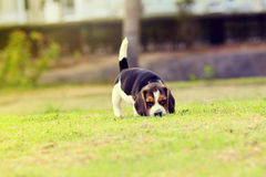 Glücklicher Spürhund stockfotos