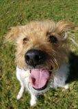 Glücklicher Terrier Stockbilder