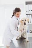 Glücklicher Tierarzt, der einen netten Hund mit Stethoskop überprüft Lizenzfreies Stockfoto