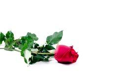 Glücklicher Valentinsgruß der Rosen-Blumenflora auf weißem Hintergrund Lizenzfreies Stockfoto