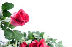 Glücklicher Valentinsgruß der Rosen-Blumenflora auf weißem Hintergrund Lizenzfreies Stockbild