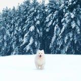 Glücklicher weißer Samoyedhund, der auf dem Schnee am Wintertag läuft Stockfoto