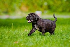 Glücklicher Welpe, der auf Gras geht Stockfotografie