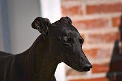 Glücklicher Windhund im Freien im Gras Stockfotos