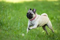 Glücklicherweise Pug Lizenzfreie Stockfotografie