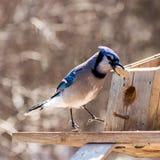 Glückliches Blue Jay, das eine Erdnuss isst lizenzfreie stockfotografie