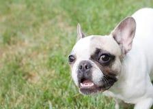 Glückliches Boston Terrier Lizenzfreie Stockfotos