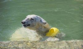 Glückliches Eisbärschwimmen Lizenzfreie Stockfotografie
