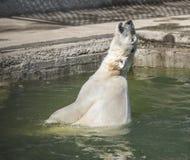 Glückliches Eisbärschwimmen Lizenzfreies Stockbild