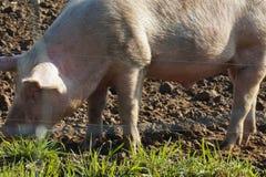 Glückliches Freiland-Schwein mit Schlamm und Gras: Piggy Essengras lizenzfreie stockbilder
