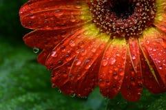 Glückliches Gänseblümchen an einem regnerischen Tag Stockfotos