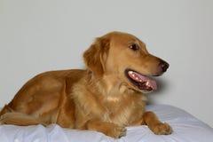 Glückliches golden retriever-Hundelegen Stockbilder