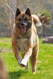 Glückliches Hunderasse Akita-inu läuft Lizenzfreies Stockbild