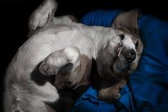 Glückliches Hundeschlafen umgedreht auf einem Kissen Stockbild