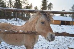 Glückliches kleines Pferd in Finland& x27; s-Winter Stockfotos