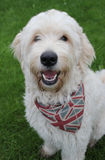Glückliches Labradoodle Hundeportrait Stockbild