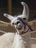 Glückliches Lama Stockfoto